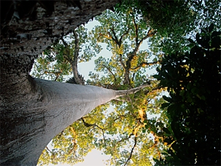 ceiba-from-below_6970077018_o